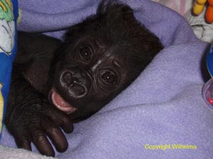 Gorillababy-Mary-Zwo-12
