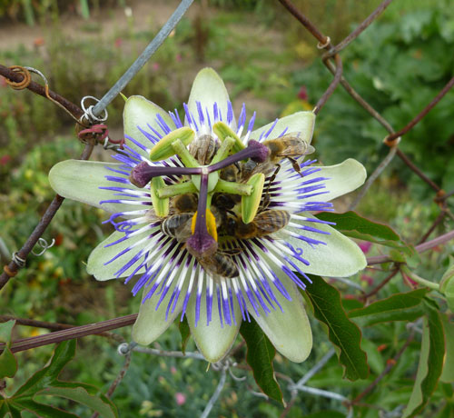 blaue-passionsblume