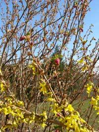 fruehlingsblueher