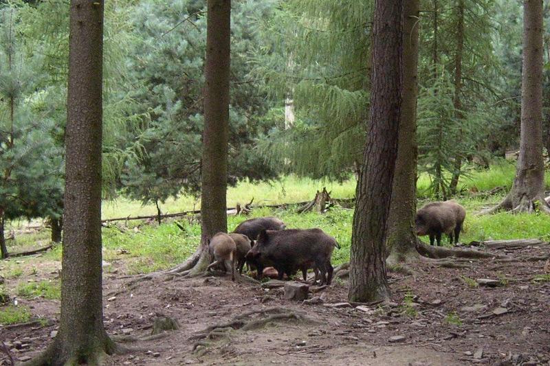 p9030032-wildschweine