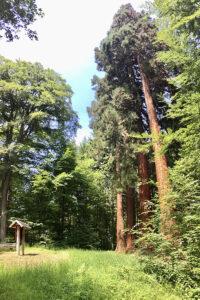 Bergmammutbäume