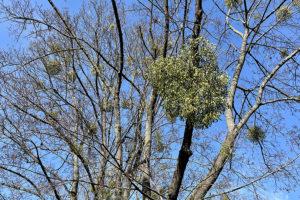 Misteln in den Bäumen im Giebel. Foto: Goede