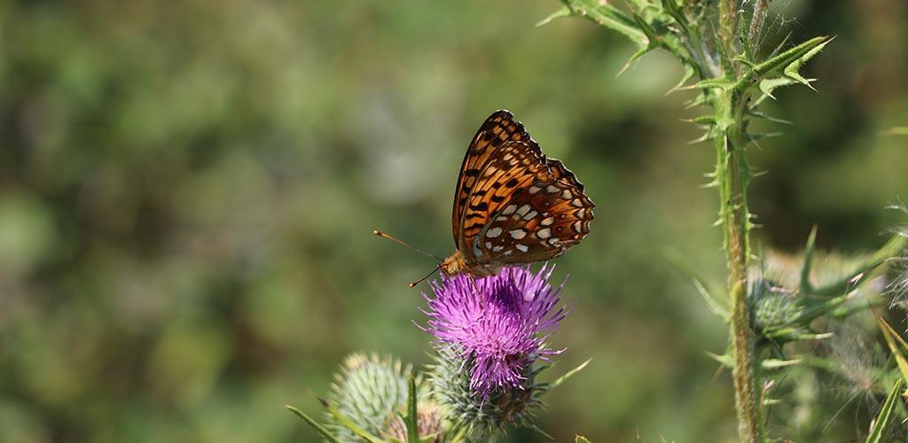 Schmetterling Themenbild Naturfreunde. Foto: GOEDE